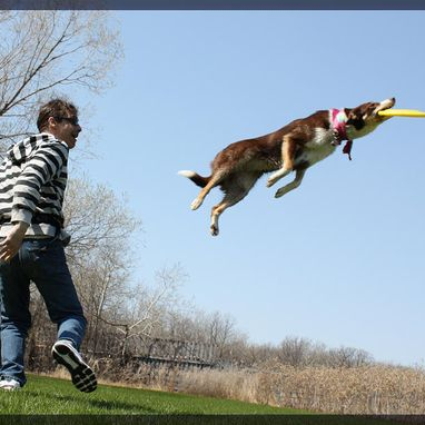 dog jumping taking a frisbee
